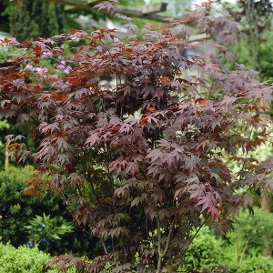 Acer Atropurpureum 'Red Maple' 3L 60cm Tall