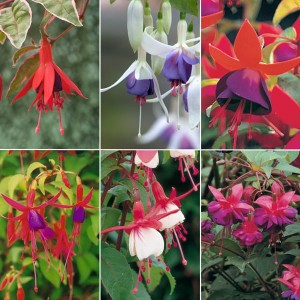 Hardy Fuchsia Collection 9cm Varieties (6 Pack)