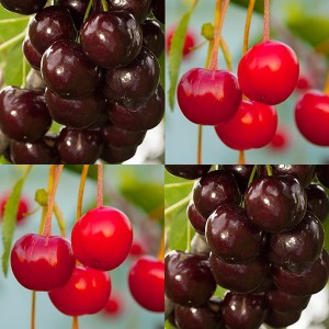 2 x Duo Fruit Tree - Cherry